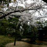 伊勢山皇大神宮へお花見に行って来ました